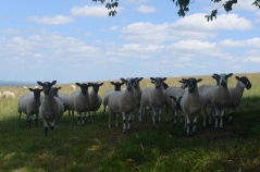 Scary sheep staring at us when we were having our picnic!