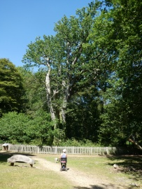 The oldest Oak tree in the park.