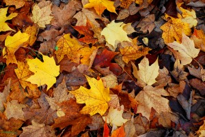 Autumn-Leaves-FreeImages.com-John-evans