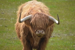 A Highland Cattle!