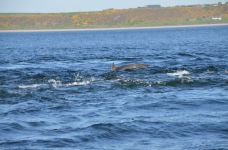 Dolphins at the Black Isle