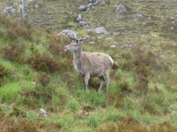 A deer in the Torridan mountains