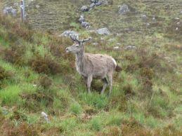A deer in the Torridan mountains