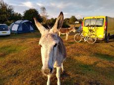 Loose donkeys!
